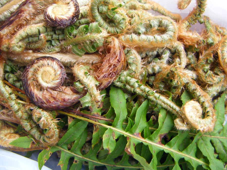 Fiddleheads & Licorice Ferns