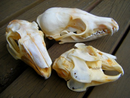 Hare and Fox Skulls