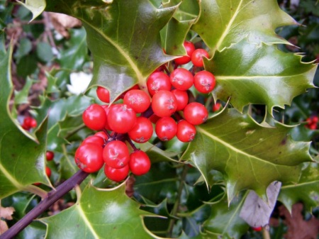 Holly in fruit