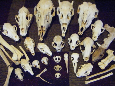 My ever-growing skull collection