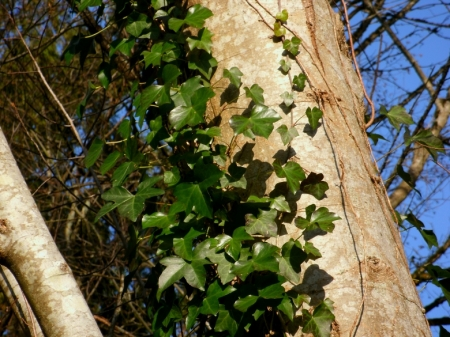 Ivy climbing a maple tree