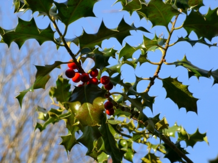 Holly against the cold blue sky