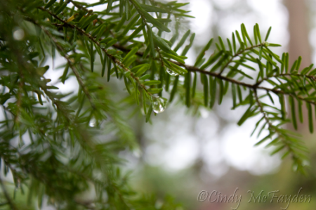 Raindrops on Western Hemlock