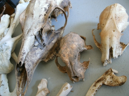 Deer, cat, and raccoon skulls