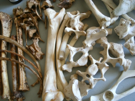 Seal and white-tail deer bones
