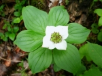 Bunchberry in the forest