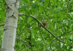 A chipmunk hides from the dog in an aspen tree