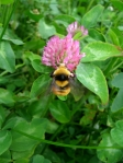 Bumble bee and red clover