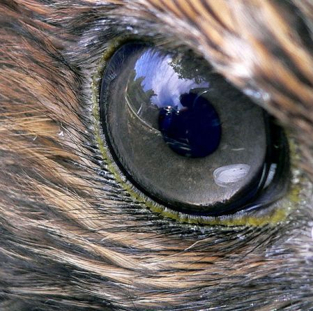 Red-tailed hawk's eye