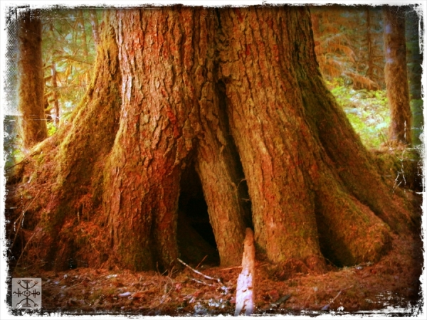 The great roots of a Douglas Fir
